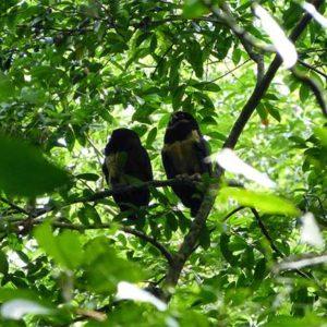 Observacion-aves-gandoca