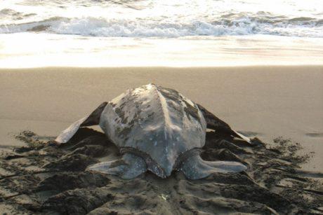 Tortugas desove