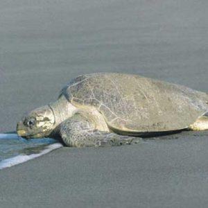 Desove-tortugas-parque-nacional-tortuguero